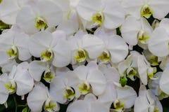 Όμορφα άσπρα λουλούδια ορχιδεών κλάδων Orchidaceae, Phalaenops Στοκ φωτογραφία με δικαίωμα ελεύθερης χρήσης
