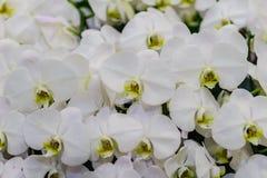 Όμορφα άσπρα λουλούδια ορχιδεών κλάδων Orchidaceae, Phalaenops Στοκ εικόνα με δικαίωμα ελεύθερης χρήσης