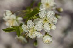 Όμορφα άσπρα λουλούδια στο χρόνο άνοιξη Στοκ εικόνα με δικαίωμα ελεύθερης χρήσης