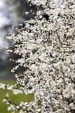 Όμορφα άσπρα λουλούδια στο χρόνο άνοιξη Στοκ Φωτογραφίες