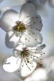 Όμορφα άσπρα λουλούδια στο χρόνο άνοιξη Στοκ εικόνες με δικαίωμα ελεύθερης χρήσης
