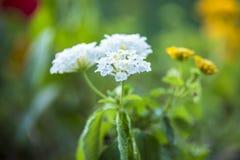 Όμορφα άσπρα λουλούδια του χρυσάνθεμου σε πράσινο Στοκ εικόνα με δικαίωμα ελεύθερης χρήσης