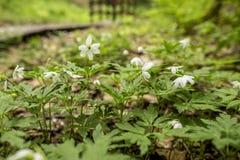 Όμορφα, άσπρα λουλούδια του nemorosa ι anemone anemone anemone Στοκ Εικόνα