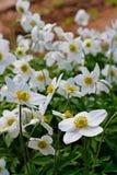 Όμορφα άσπρα λουλούδια anemones στον κήπο Στοκ Φωτογραφία