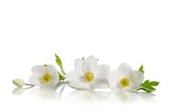 Όμορφα άσπρα λουλούδια anemones Στοκ Εικόνες