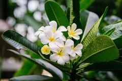 Όμορφα άσπρα λουλούδια frangipani, λουλούδια plumeria που ανθίζουν στο δέντρο Στοκ Εικόνα