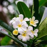 Όμορφα άσπρα λουλούδια frangipani, λουλούδια plumeria που ανθίζουν στο δέντρο Στοκ Εικόνες