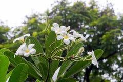 Όμορφα άσπρα λουλούδια plumeria Στοκ εικόνα με δικαίωμα ελεύθερης χρήσης