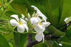 Όμορφα άσπρα λουλούδια plumeria Στοκ φωτογραφία με δικαίωμα ελεύθερης χρήσης