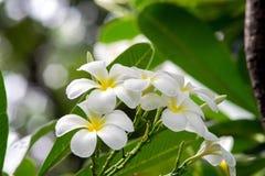 Όμορφα άσπρα λουλούδια plumeria Στοκ Εικόνες