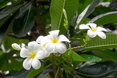 Όμορφα άσπρα λουλούδια plumeria Στοκ εικόνες με δικαίωμα ελεύθερης χρήσης
