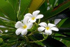 Όμορφα άσπρα λουλούδια plumeria Στοκ Φωτογραφίες