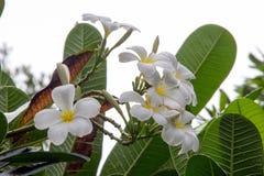 Όμορφα άσπρα λουλούδια plumeria Στοκ Φωτογραφία