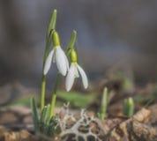Όμορφα άσπρα λουλούδια snowdrop στη φύση Στοκ Φωτογραφίες