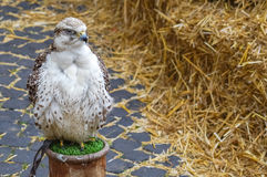 Όμορφα άσπρα πουλιά του θηράματος Στοκ φωτογραφίες με δικαίωμα ελεύθερης χρήσης