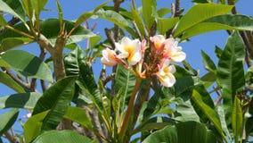 Όμορφα άσπρα τροπικά λουλούδια στο δέντρο Οι οφθαλμοί των λουλουδιών αυξάνονται σε ένα δέντρο στην καυτή Ταϊλάνδη απόθεμα βίντεο