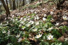 Όμορφα άσπρα anemones ακτίνων άνοιξη Στοκ εικόνες με δικαίωμα ελεύθερης χρήσης