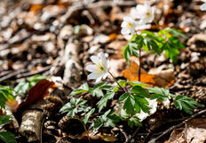 Όμορφα άσπρα anemones ακτίνων άνοιξη Στοκ Εικόνες