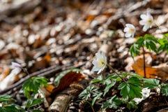 Όμορφα άσπρα anemones ακτίνων άνοιξη Στοκ Φωτογραφίες