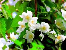 Όμορφα άσπρα jasmine άνθη Στοκ φωτογραφίες με δικαίωμα ελεύθερης χρήσης