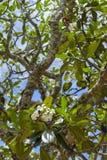 Όμορφα άσπρος-κίτρινα plumeria & x28 frangipani& x29  λουλούδι με τα φύλλα στον κλάδο δέντρων Στοκ φωτογραφία με δικαίωμα ελεύθερης χρήσης