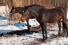 Όμορφα άλογα κάστανων και άσπρο άλογο σε χιονώδες δασικό Russi Στοκ Φωτογραφία