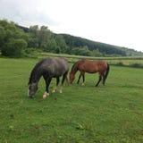 όμορφα άλογα δύο Στοκ εικόνα με δικαίωμα ελεύθερης χρήσης