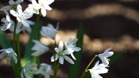 Όμορφα ανθίζοντας άσπρα λουλούδια φιλμ μικρού μήκους