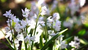 Όμορφα ανθίζοντας άσπρα λουλούδια απόθεμα βίντεο
