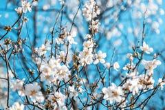 Όμορφα ανθίζοντας αμύγδαλα στη μαλακή εστίαση, φρέσκος λεπτός floral Στοκ Εικόνες