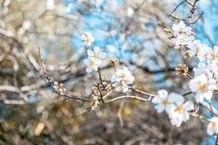 Όμορφα ανθίζοντας αμύγδαλα στη μαλακή εστίαση, φρέσκος λεπτός floral Στοκ Φωτογραφίες