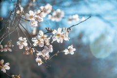 Όμορφα ανθίζοντας αμύγδαλα στη μαλακή εστίαση, φρέσκος λεπτός floral Στοκ φωτογραφίες με δικαίωμα ελεύθερης χρήσης