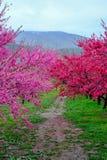 Όμορφα ανθίζοντας δέντρα ροδακινιών σε Hanamomo κανένα Sato, Iizaka Onsen, Φουκουσίμα, Ιαπωνία Στοκ Εικόνες