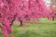 Όμορφα ανθίζοντας δέντρα ροδακινιών σε Hanamomo κανένα Sato, Iizaka Onsen, Φουκουσίμα, Ιαπωνία Στοκ φωτογραφίες με δικαίωμα ελεύθερης χρήσης