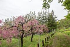 Όμορφα ανθίζοντας δέντρα ροδακινιών σε Hanamomo κανένα Sato, Iizaka Onsen, Φουκουσίμα, Ιαπωνία Στοκ εικόνες με δικαίωμα ελεύθερης χρήσης