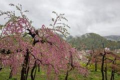 Όμορφα ανθίζοντας δέντρα ροδακινιών σε Hanamomo κανένα Sato, Iizaka Onsen, Φουκουσίμα, Ιαπωνία Στοκ Εικόνα