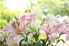 Όμορφα ανθίζοντας λουλούδια κρίνων στον κήπο Στοκ Εικόνα