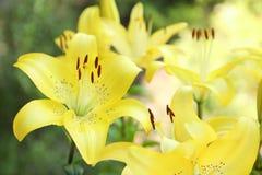 Όμορφα ανθίζοντας λουλούδια κρίνων στον κήπο Στοκ φωτογραφία με δικαίωμα ελεύθερης χρήσης