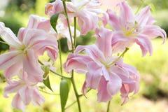 Όμορφα ανθίζοντας λουλούδια κρίνων στον κήπο Στοκ Φωτογραφίες