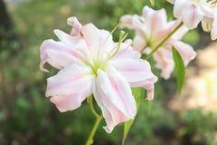 Όμορφα ανθίζοντας λουλούδια κρίνων στον κήπο Στοκ Εικόνες