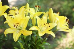 Όμορφα ανθίζοντας λουλούδια κρίνων στον κήπο Στοκ εικόνες με δικαίωμα ελεύθερης χρήσης