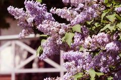 Όμορφα ανθίζοντας λουλούδια του ιώδους δέντρου στην άνοιξη Άνθος την άνοιξη ενάντια στις λευκές κίτρινες νεολαίες άνοιξη λουλουδι Στοκ εικόνα με δικαίωμα ελεύθερης χρήσης