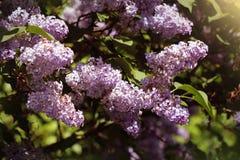 Όμορφα ανθίζοντας λουλούδια του ιώδους δέντρου στην άνοιξη Άνθος την άνοιξη ενάντια στις λευκές κίτρινες νεολαίες άνοιξη λουλουδι Στοκ Φωτογραφία