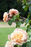 Όμορφα ανθίζοντας τριαντάφυλλα Στοκ Φωτογραφίες