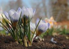 Όμορφα ανοικτό βιολετί λουλούδια κρόκων πρώιμη άνοιξη λουλουδιών Στοκ εικόνα με δικαίωμα ελεύθερης χρήσης