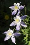 Όμορφα αλπικά Columbine λουλούδια του Κολοράντο κατά μήκος του ίχνους πεζοπορίας βουνών Vail Στοκ εικόνες με δικαίωμα ελεύθερης χρήσης