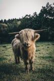 Όμορφα βοοειδή ορεινών περιοχών στην άγρια φύση στοκ εικόνες