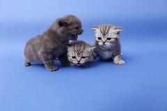 Όμορφα βρετανικά γατάκια Shorthair Στοκ Εικόνα