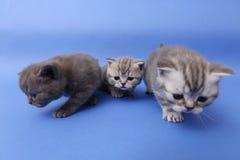 Όμορφα βρετανικά γατάκια Shorthair Στοκ Φωτογραφία