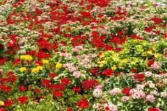 Όμορφα γεράνι, η Zinnia και tagetes λουλούδια Στοκ Εικόνες